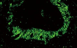 High-resolution Imaging of the Periodontal Membrane of Mice